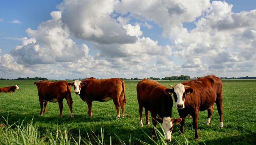 De Monitor onderzoekt zeldzame koeien