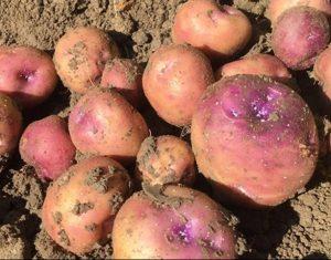 koopmans_blauwe_aardappel
