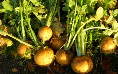 De Soester knol: ook lekker in de couscous