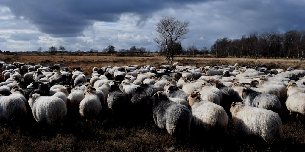 #kieslokaal on tour: lamsvlees uit Balloo