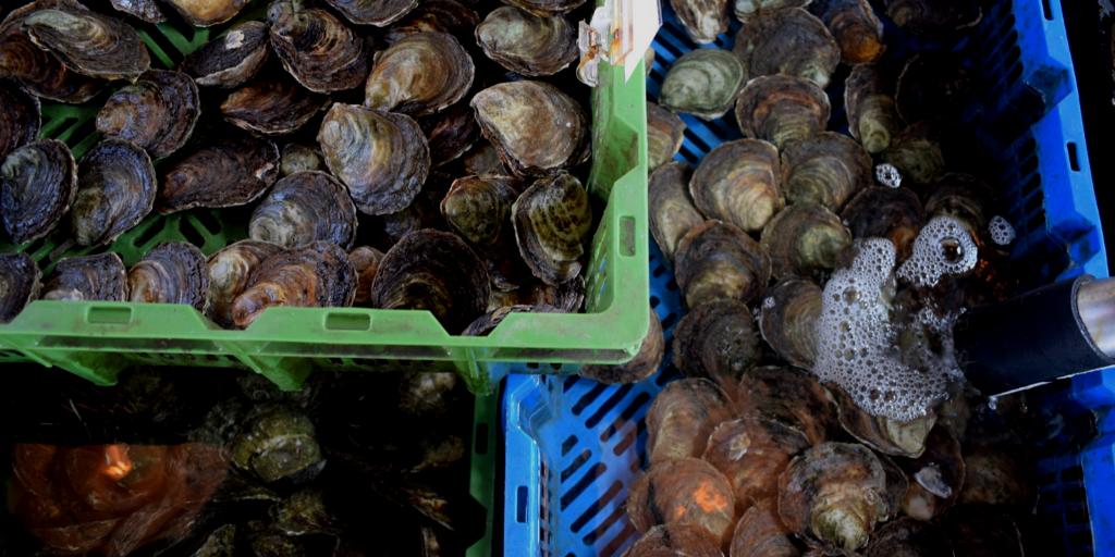 #kieslokaal on tour: Zeeuwse platte oester uit Yerseke