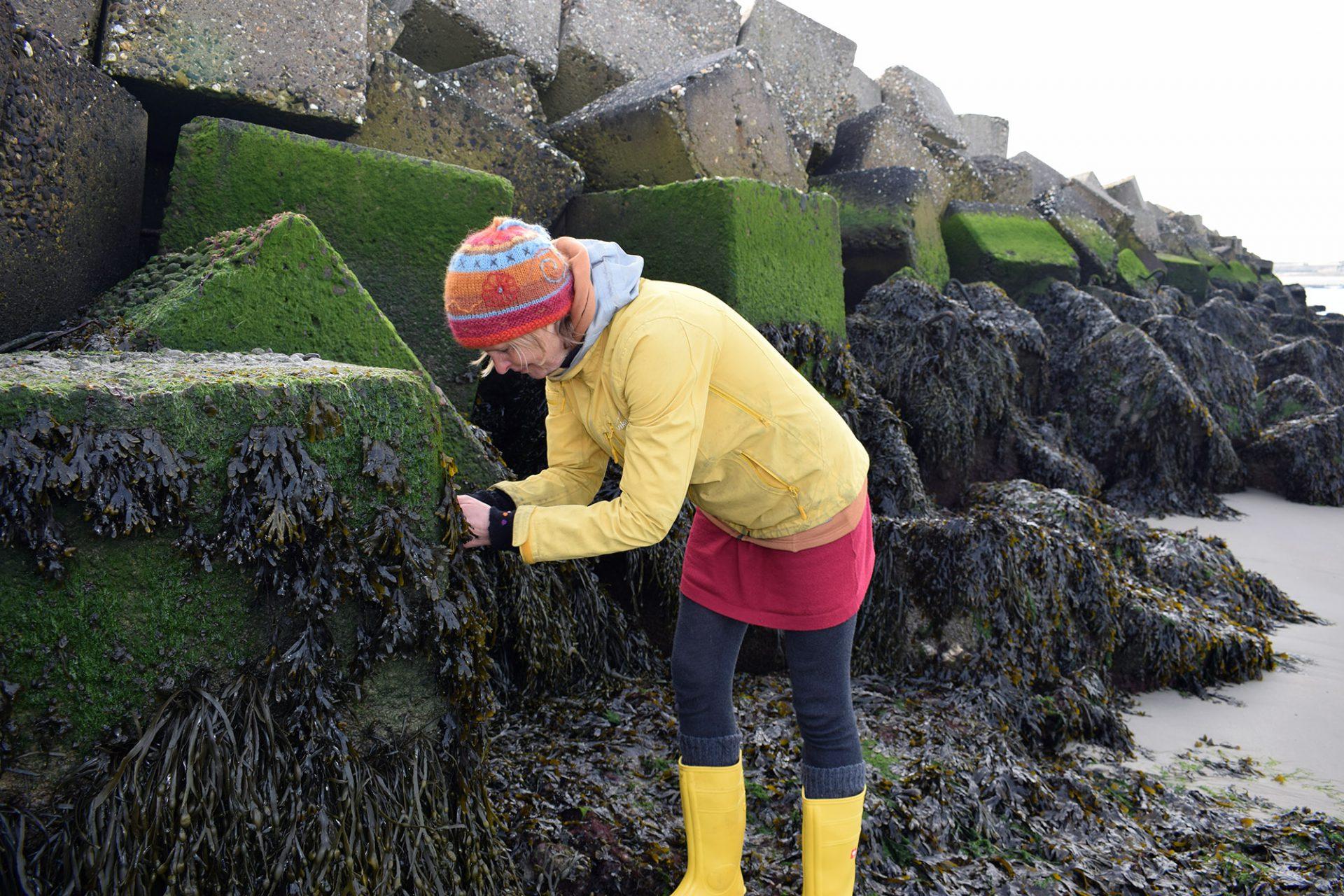 WildWier zeewier wild plukken
