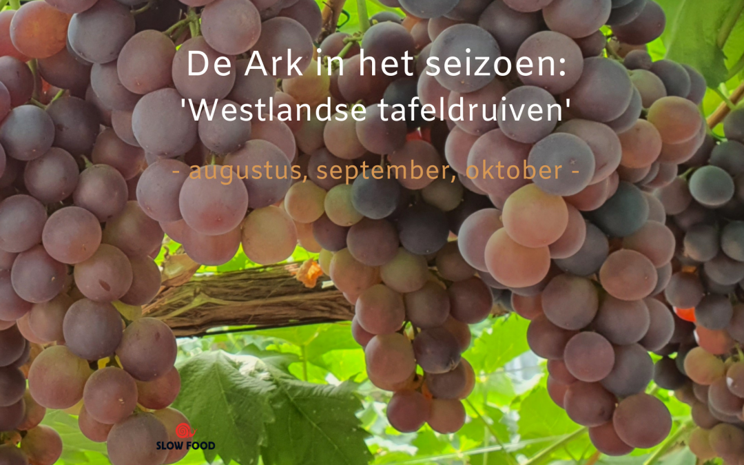 DE ARK IN HET SEIZOEN: WESTLANDSE TAFELDRUIVEN (AUGUSTUS – SEPTEMBER – OKTOBER)